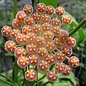 Hoya rosarioae