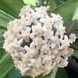 Hoya revolubilis