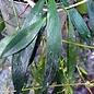 Hoya odetteae