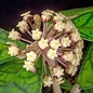 Hoya finlaysonii cv. Naeva