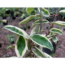 Hoya carnosa margin variegata l