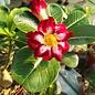 Adenium obesum cv. Scarlet Pearl   gepfr.