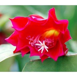 Epiphyllum-Hybr. Tom Paetz