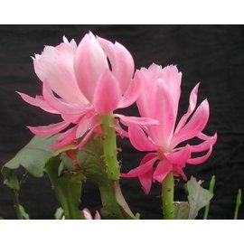 Epiphyllum-Hybr. Deutsche Kaiserin