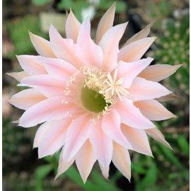 Echinopsis-Hybr. `Terracotta` RIP 0/97 Paramount Hybr.
