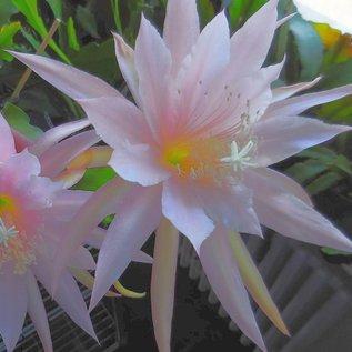 Epiphyllum-Hybr. Isorno