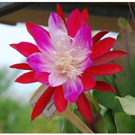 Epiphyllum-Hybr. Emmett Kelly