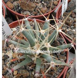Ferobergia PRIFOR / FOR x PRIFOR, R2
