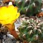 Sulcorebutia tuberculata-chrysantha  WK 300 Aguirre, Cochabamba - Colomi, km 35, 3600 m