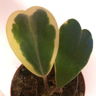 Hoya kerrii albovariegata