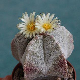 Astrophytum myriostigma  v. columnare      (Samen)