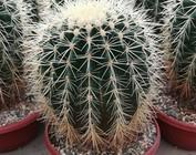 60 años de cactus Uhlig