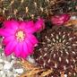 Sulcorebutia pampagrandensis  HS 023 Totora - Aiquile