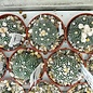 Astrophytum asterias cv. Turtle
