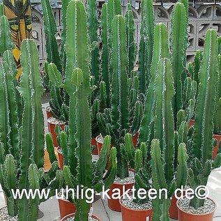 Euphorbia erythraea XL