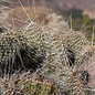 Opuntia polyacantha   1900m Bandelier Nat. Mon. Santa Fe    (dw)
