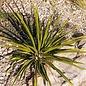 Yucca rupicola   Ozona Co., TX    (dw)