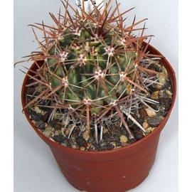 Ferocactus fordii  variegata Baja California
