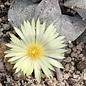 Astrophytum myriostigma v. potosina