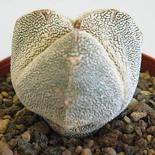 Astrophytum myriostigma cv. Onzuka tricostata wurzelecht