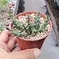 Orbea speciosa
