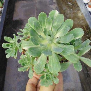 Aeonium castello-paivae