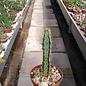 Euphorbia quadrangularis
