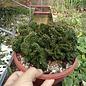 Euphorbia suzannae   Kleine Karoo, Südafrika  cristata
