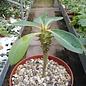 Euphorbia viguieri v. capuroniana