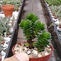 Crassula cv. Estagnol
