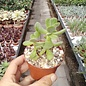 Crassula gifbergensis
