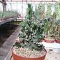 Monvillea spegazzinii cv. Monstruosa    cristata