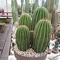 Neobuxbaumia polylopha Gruppen