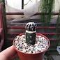Discocactus horstii  HU 360, Grão Mogol, Minas Gerais, Brasilien gepfr.  CITES, not outside EU