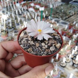 Ariocarpus kotschoubeyanus   Las Tablas   CITES, not outside EU