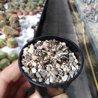 Ariocarpus kotschoubeyanus   Westlich Saltillio km 60   CITES, not outside EU