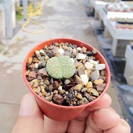 Lithops fulviceps  v. fulviceps Aurea