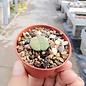 Lithops fulviceps  v. fulviceps cv. Aurea