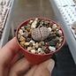 Lithops julii ssp. fulleri
