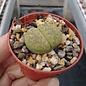 Lithops lesliei ssp. lesliei v. lesliei cv. Albinica
