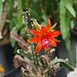 Disocactus cinnabarinus