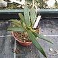 Dischidia sp.Philippines