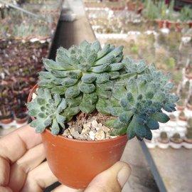Echeveria setosa var. deminuta cv. Rundellii