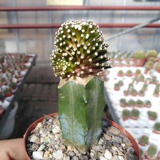 Mammillaria luethyi  MZ 1753 Sierra de Carmen, Coahuila, Mx gepfr.
