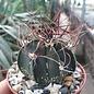Astrophytum senile cv. Pink Flower