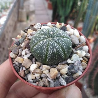 Astrophytum asterias-Hybriden