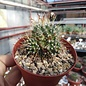 Mammillaria painteri monstruosa cv. Longispina