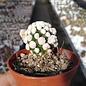 Mammillaria gracilis-Hybr. Oruga