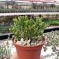 Euphorbia enopla monstrosa