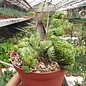 Euphorbia inermis cv. Monstruosa    cristata